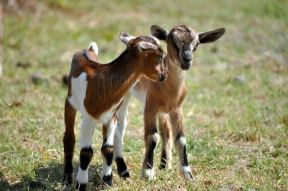 kids_baby_goats